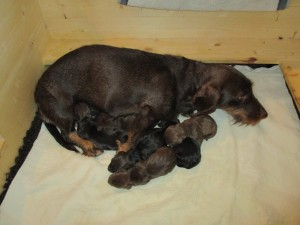 Merle mit ihren Welpen kurz nach der Geburt